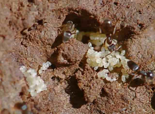яйца на мравки