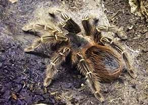 китайски паяк
