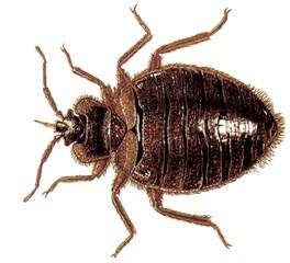 bedbug-ddd-burgas