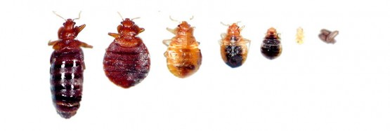 bedbug-sizes