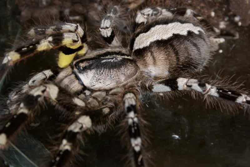 индийска орнаментална тарантула