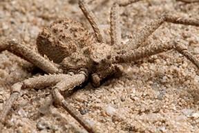 шестоок пясъчен паяк