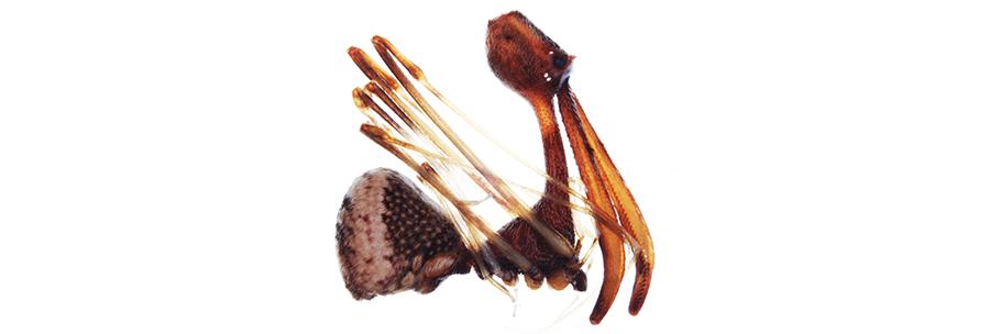 пеликанов паяк