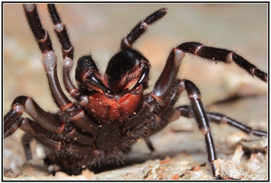 sydney funnel spider 9485220066_15dd910e16_z