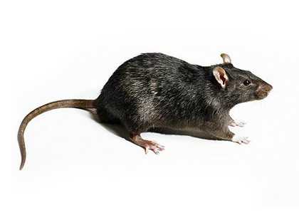 rat-article-image