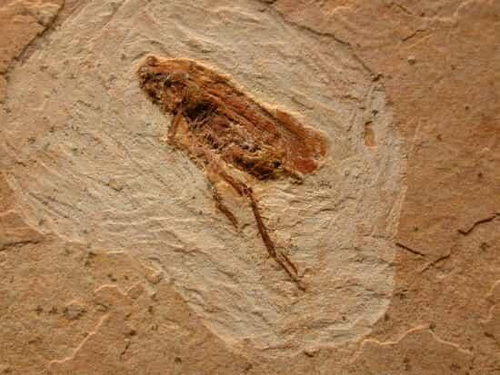 хлебарка – вкаменелост