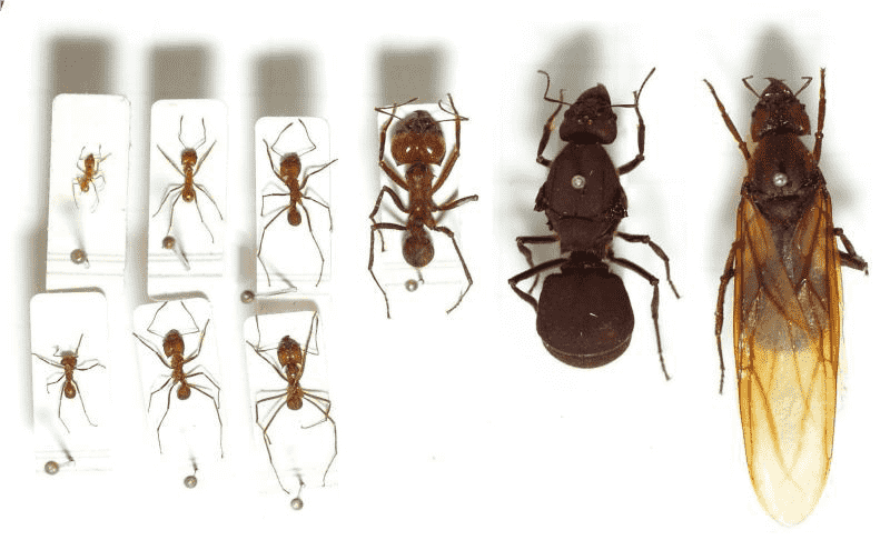 щури фасти за мравките