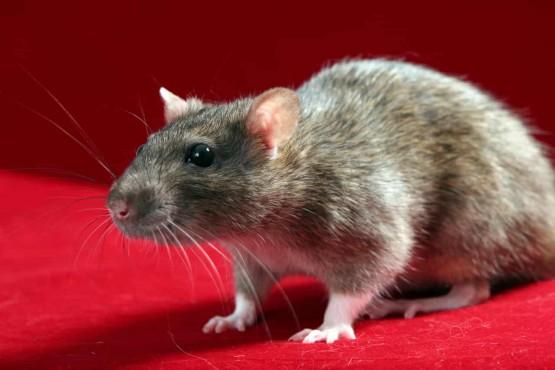 rat-1343687-1279×852-1-min