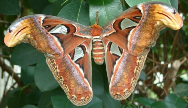 нощна пеперуда атлас