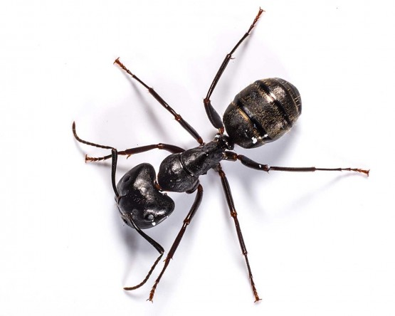 carpenter-ant-min