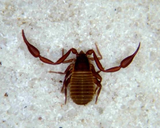 psevdoskorpion1-min