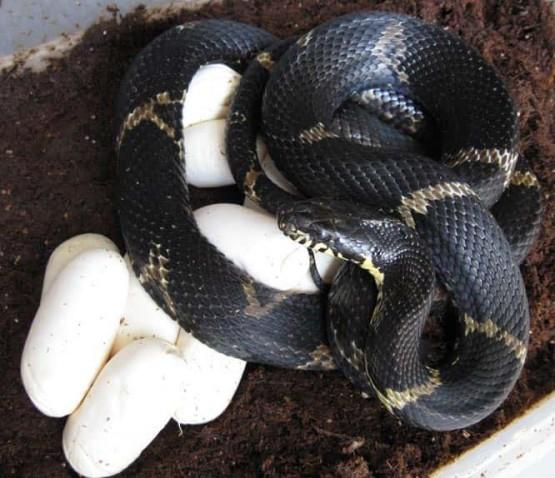 канибализма при змиите