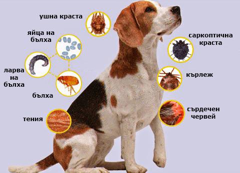 насекоми-паразити-болести-пренасяни-от-кучетата