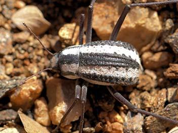 пустинен бръмбар