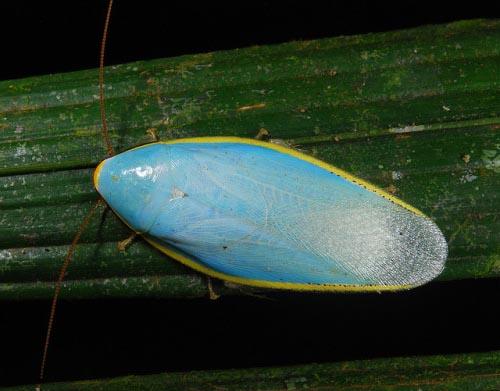 синя-хлебарка