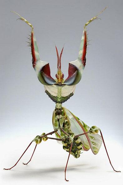 дяволска-богомолка