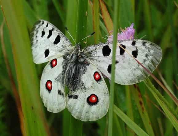 пеперуда APPOLO