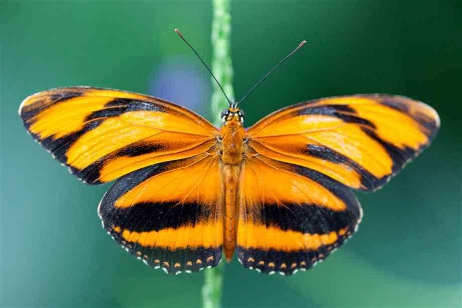 пеперуда-banded-orange-heliconians