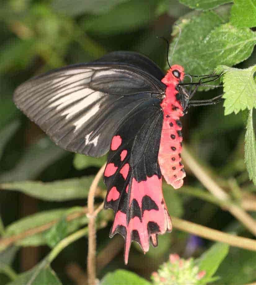пеперуда trophaneura-semperi