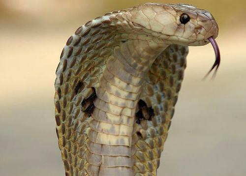 кобрата и лекарствата от змийска отрова
