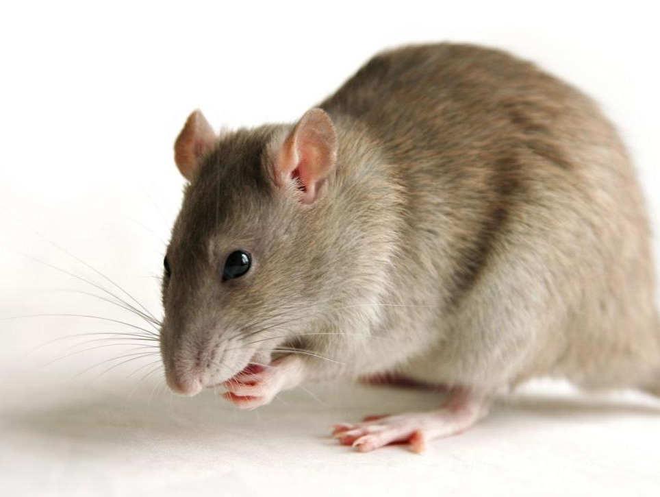 Учени изследват феномена на гъделичкането чрез експеримент с плъхове