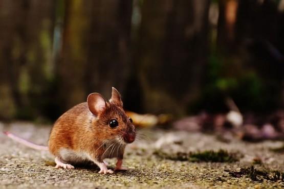 Де преборим мишките с мента