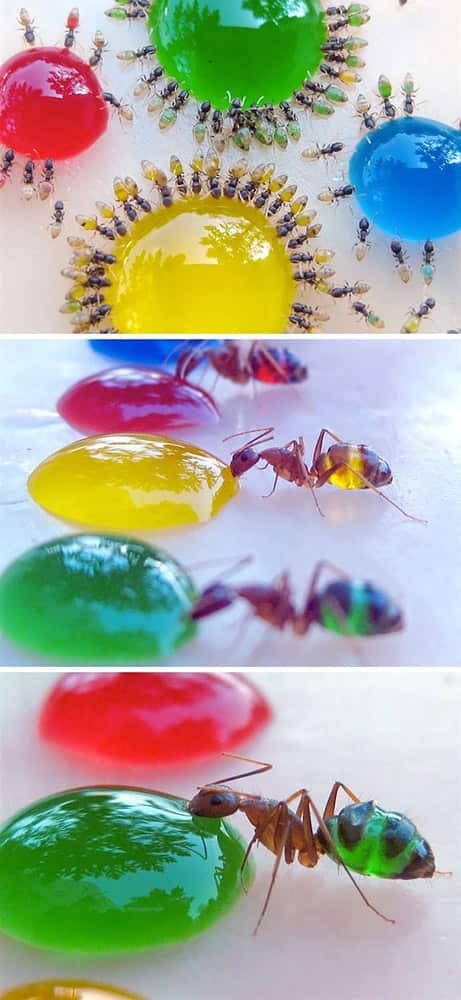 медни мравки прозрачни