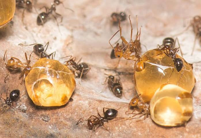 медни мравки