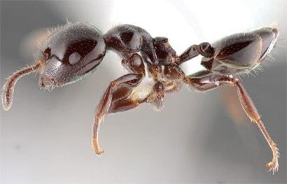 Мравка - Crematogaster indosinensis