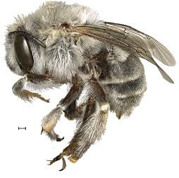 Пясъчна пчела - Anthophora Pueblo