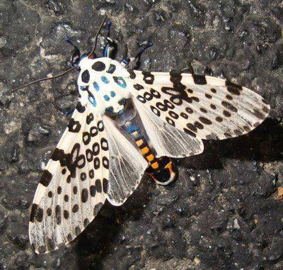 гигантска леопардова пеперуда