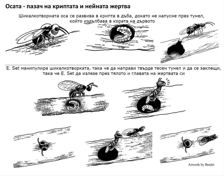 паразитна оса манипулира друга паразитна оса превръщайки я в зомби