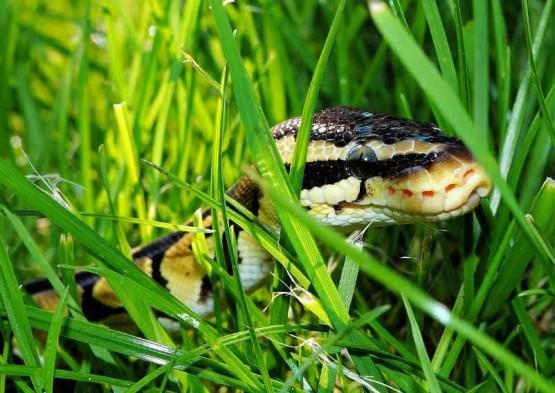 как змиите усещат топлината на бозайниците