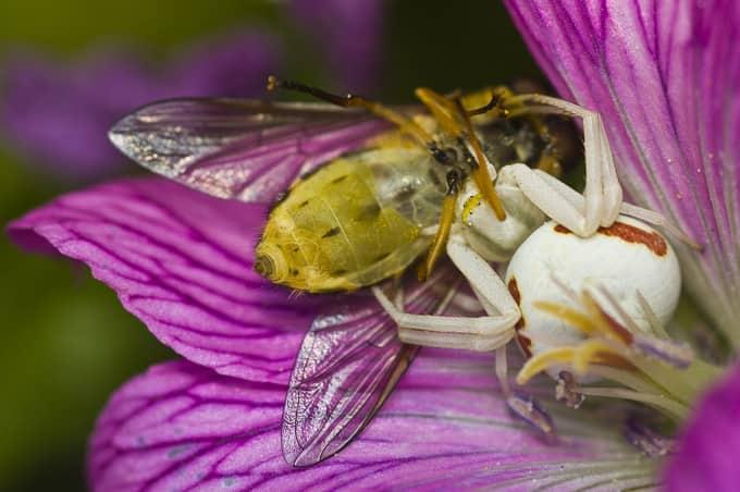 Флориколен крабов паяк и неговата плячка