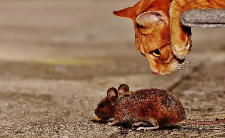може ли котката да ви отърве от гризачите
