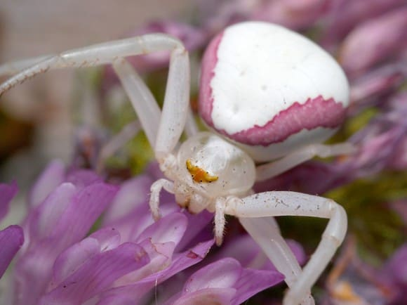 misumena vatia флориколен крабов паяк
