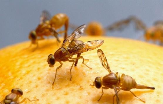 какво може да научим за човешките емоции от плодовите мушици