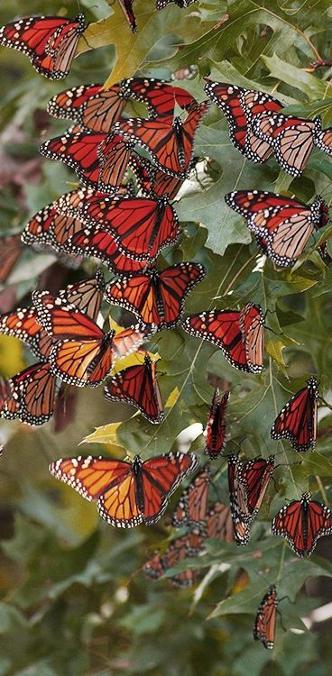 миграциите на пеперудите монарх