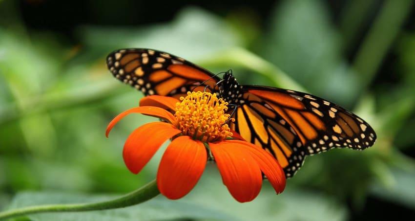 мистериозните миграции на пеперудата монарх