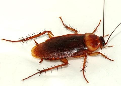 с какво хлебарките са полезни