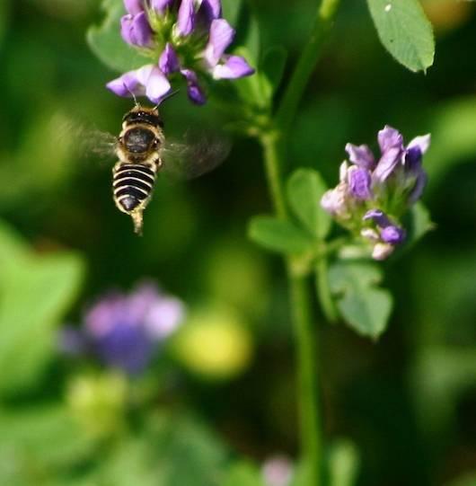 диви пчели Megachile rotundata