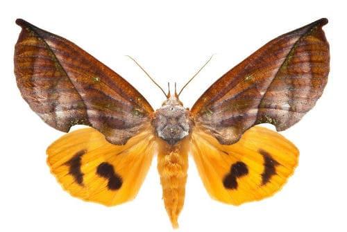 Нощна пеперуда