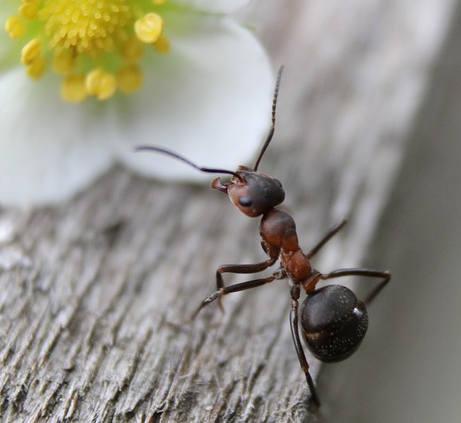 как да се справим с мравките
