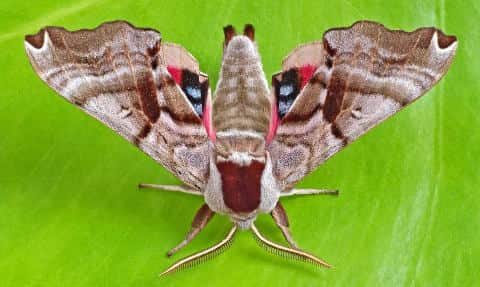 Smerinthus jamaicensis