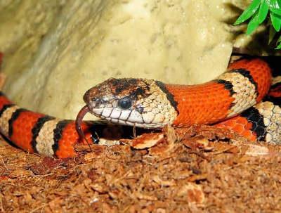 червена кралска змия