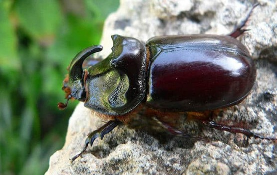 бръмбар носорог