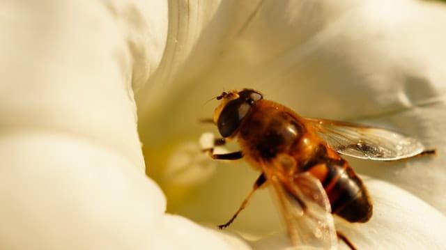 Кофеинизирани пчели