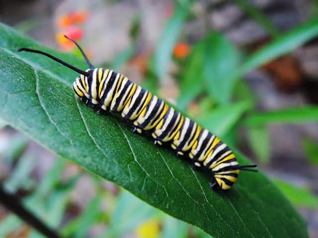 гъсеница на пеперуда монарх