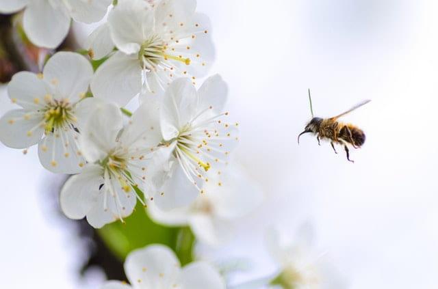 пчелите обичат кофеина в растенията