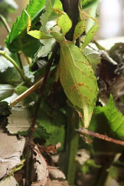 листарка, листно насекомо